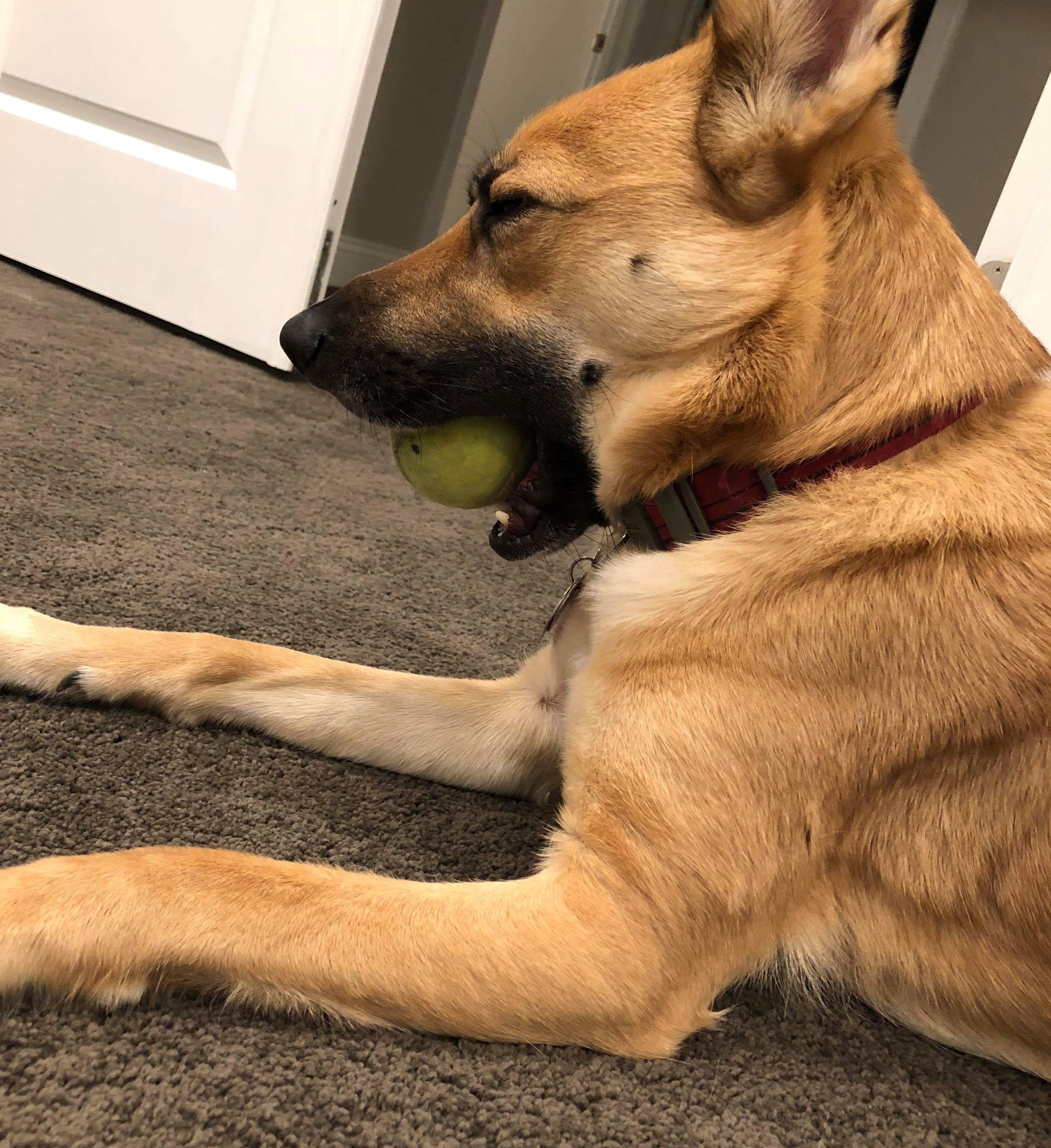 Delilah the German Shepherd mix lying on the floor with a ball in her mouth, half asleep.