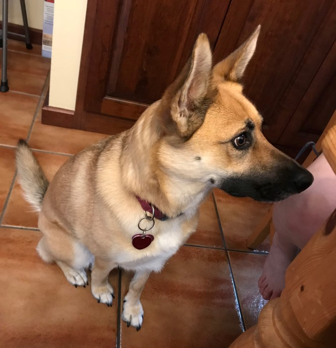 Delilah the German Shepherd mix sitting in the kitchen next to my mom, doing a very intense stare in hopes she'll be given something from the table.