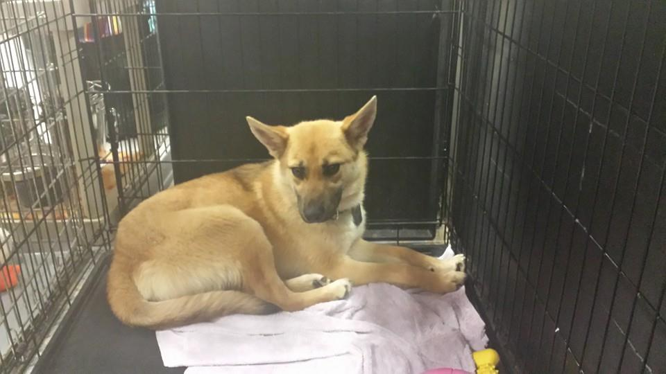 A 9-month-old Delilah the German Shepherd mix curled up at the back of her crate in the shelter.
