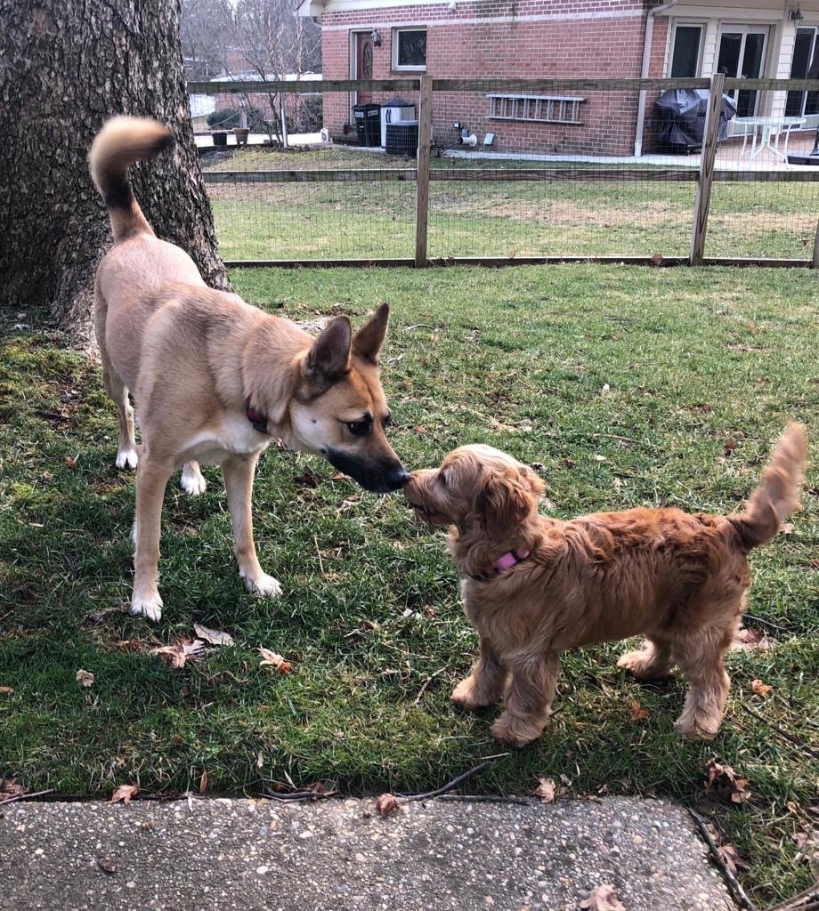 Delilah the German Shepherd mix booping noses with her best friend, Luna the mini golden doodle